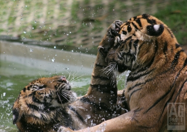 Tigers Playing - Thailand
