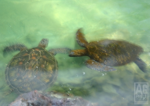 Sea Turtles Kailua Kona