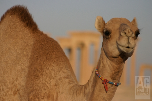A baby camel wanders the historic ruins in Palmyra Syria.