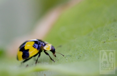 Yellow and Black Lady Bird