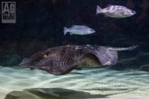 Kelly Tarltons Underwater World Sting Ray