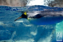 Kelly Tarltons Underwater World Penguins