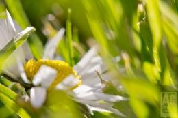 crumpled daisy