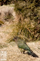 Kea Fiordland National Park