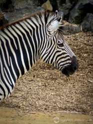 Auckland Zoo - Zebra