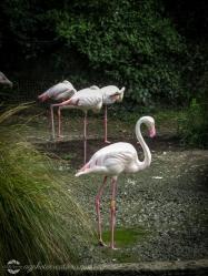 Auckland Zoo - Flamingos