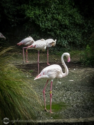 Auckland Zoo - Flamingos