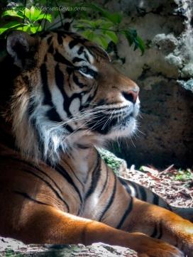 Auckland Zoo - Sumatran Tiger