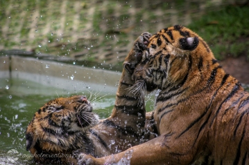Playing tigers