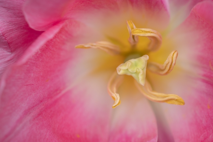 Close-up Macro Abstract of Inside of Pink Tulip, selective focus, horizontal