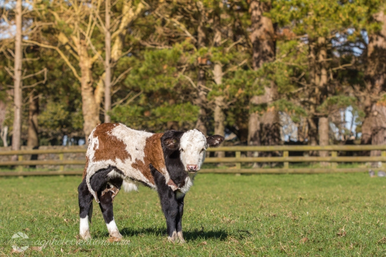 Orphan Spring Calf with Cow Hide