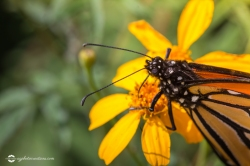 Close Up of Monarch Butterfly getting Nectar from Golden Flower with Selective Focus Horizontal with Copy space