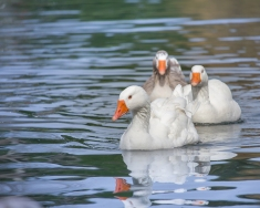 Family Of Geese Swimming on Lake Selective Focus