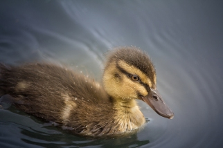 Close Up of Duckling Swimming on Lake Selective Focus