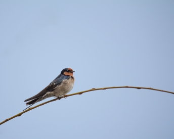 Swallow Perching on Grass against Plain Background With Copy Space