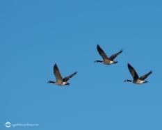 bird-geese-01