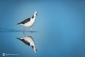 bird-pied-stilt