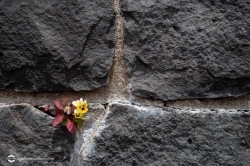Pansy Growing in a Rock Wall, Conceptual Beauty and Growth in a Hard Place