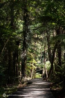 Boardwalk through New Zealand Native Forest in Northland New Zealand