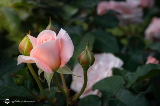 Beautiful Pink Rose and Rosebuds in Afternoon Sun in Rose Garden, Close Up, Selective Focus
