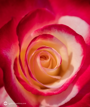 Close Up of Beautiful Double Delight Hybrid Tea Rose - Selective Focus Background