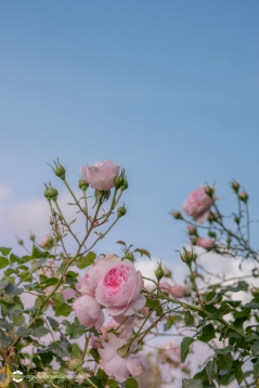 Beautiful Pink Climbing Roses against a Blue Sky, Selective Focus with Copy Space