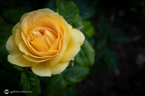 Beautiful Yellow Rose in a Garden on Dark Background with Selective Focus and Copy Space