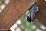 Close Up of Monarch Butterfly Chrysalis as the Butterfly Head Emerges