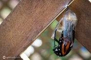 Close Up of Monarch Butterfly Chrysalis as the Butterfly Emerges