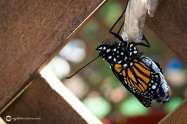 Close Up of Monarch Butterfly Chrysalis and Butterfly Just after Emerging from Chrysalis