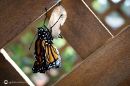 Close Up of Monarch Butterfly Stretching Its Wings Just After Emerging from Chrysalis