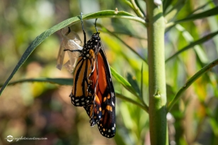 Monarch Butterfly stretching its Wings after Emerging From Chrysalis on Swan Plant